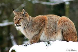 Lynx / Luchs 8 by bluesgrass