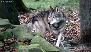 Timberwolf 11