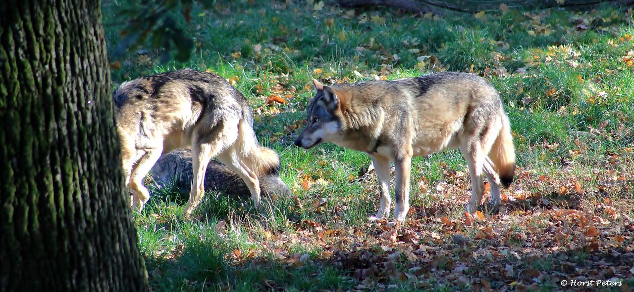 Europaeischer Wolf / Gray Wolf 6 by bluesgrass