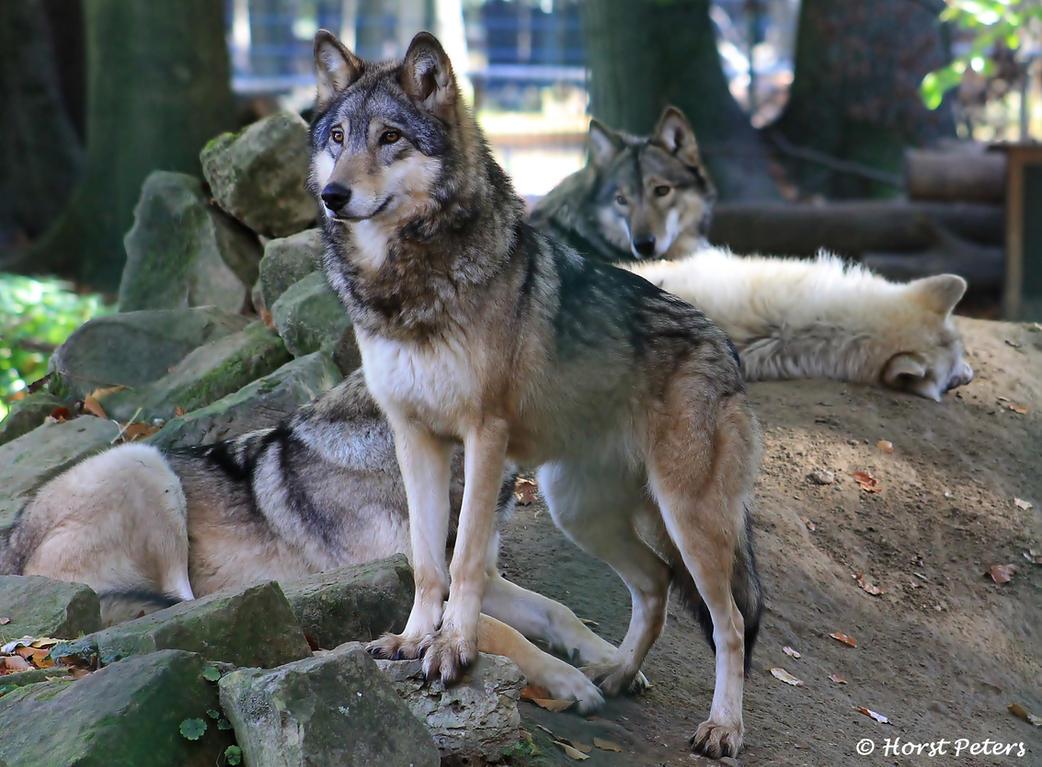 Wolf Pack by bluesgrass