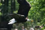 Bald Eagle /Weisskopfseeadler 12