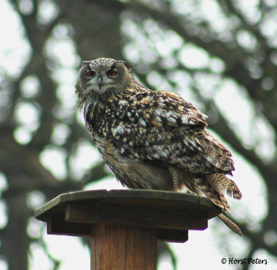 Uhu / Eagle Owl 4 by bluesgrass