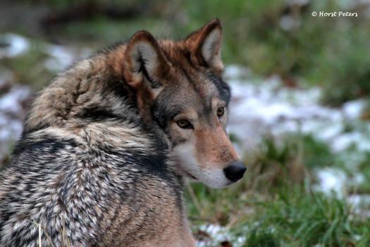 Timberwolf 14
