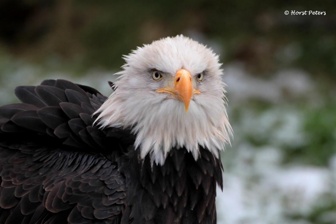 Bald Eagle  Weisskopfseeadler 15 by bluesgrass
