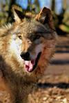 Europaeischer Grauwolf 8