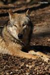 Europaeischer Grauwolf 9