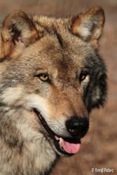 Europaeischer Grauwolf 10