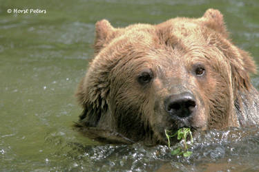 Brown Bear / Braun Baer  8