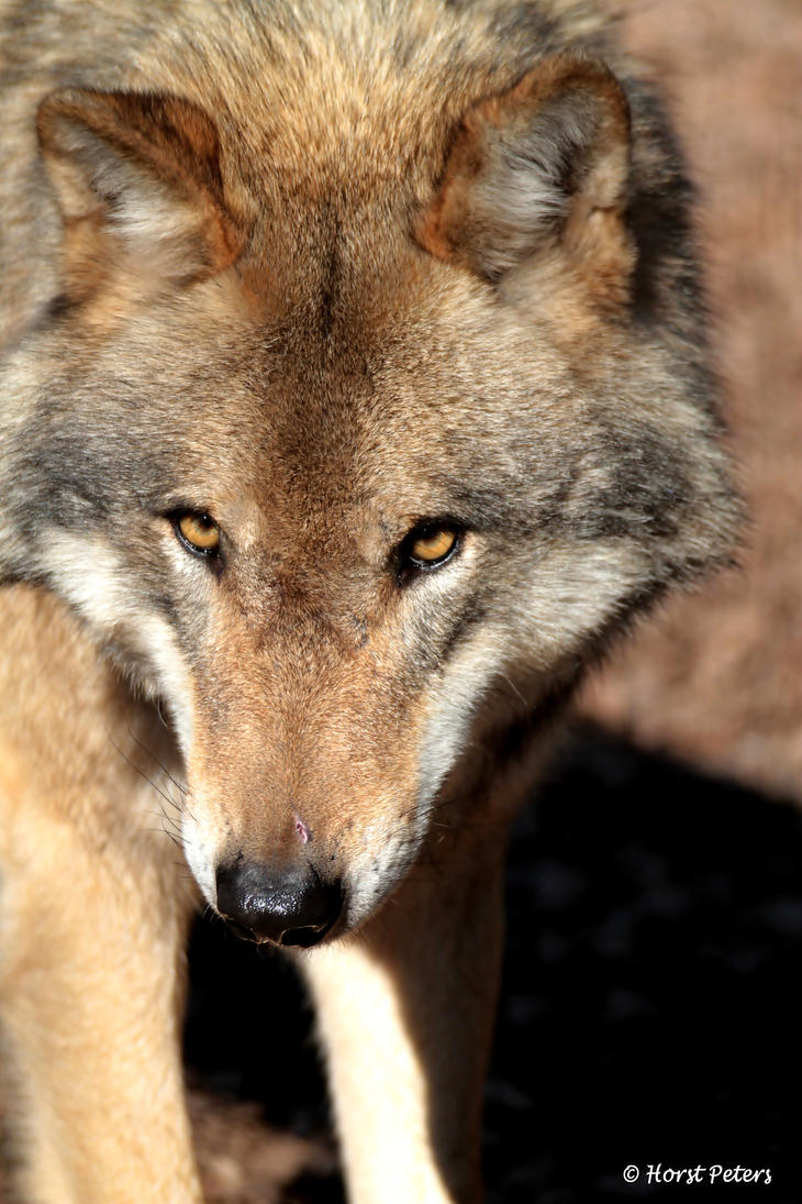 Europaeischer Grauwolf 15 by bluesgrass