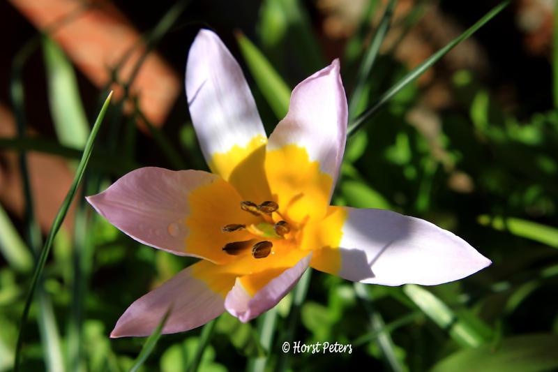 Wilde Tulpe / Wild Tulip by bluesgrass