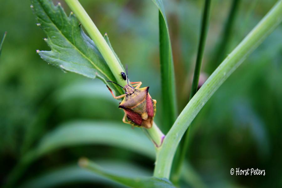 Bunte Blattwanze (Elasmostethus interstinctus) 2 by bluesgrass