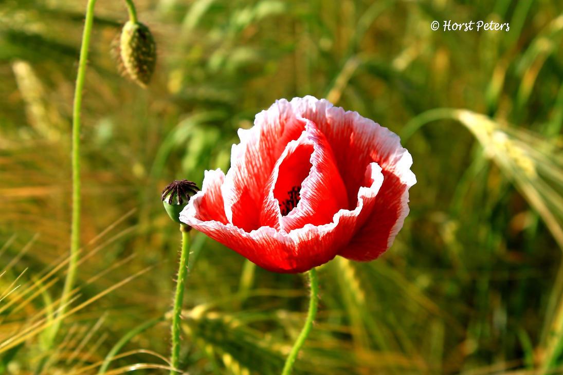 Mohnblume / Poppy by bluesgrass