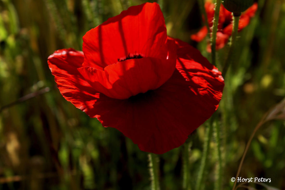 Mohnblume / Poppy 3 by bluesgrass