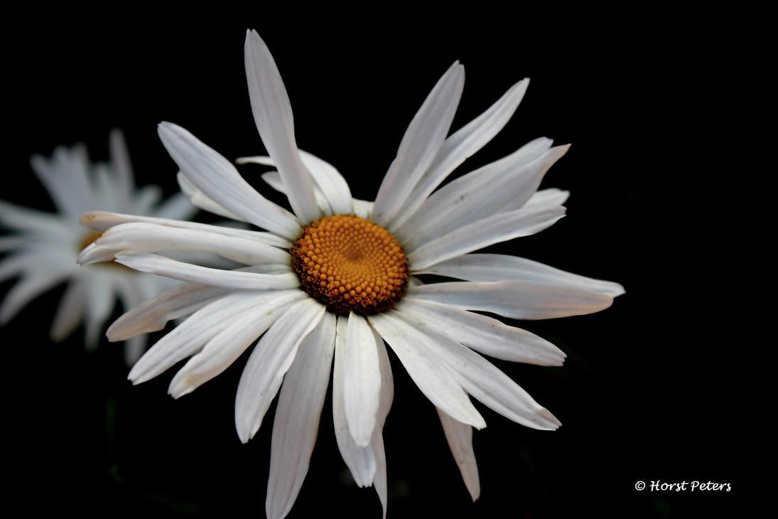 Margerite Leucanthemum vulgare by bluesgrass