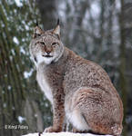 Luchs / Lynx 14 by bluesgrass