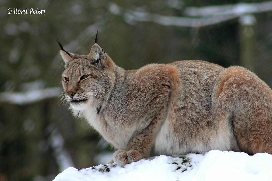 Luchs / Lynx 15 by bluesgrass