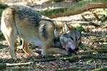 Europaeischer Grauwolf  / European Graywolf 22