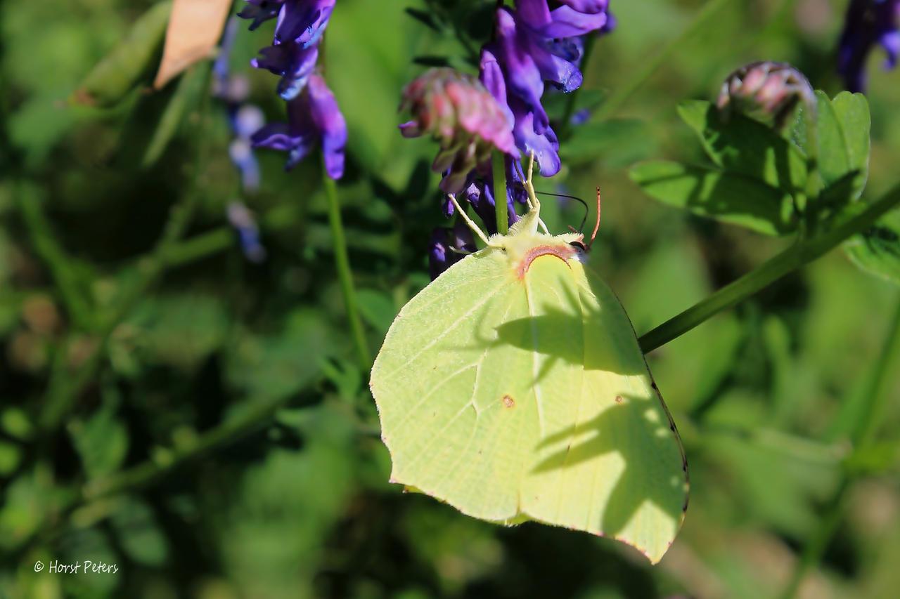 Brimstone Butterfly   Zitronenfalter 7 by bluesgrass