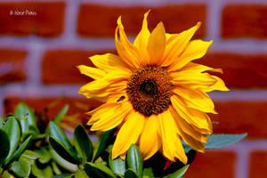 Sunflower 3 by bluesgrass