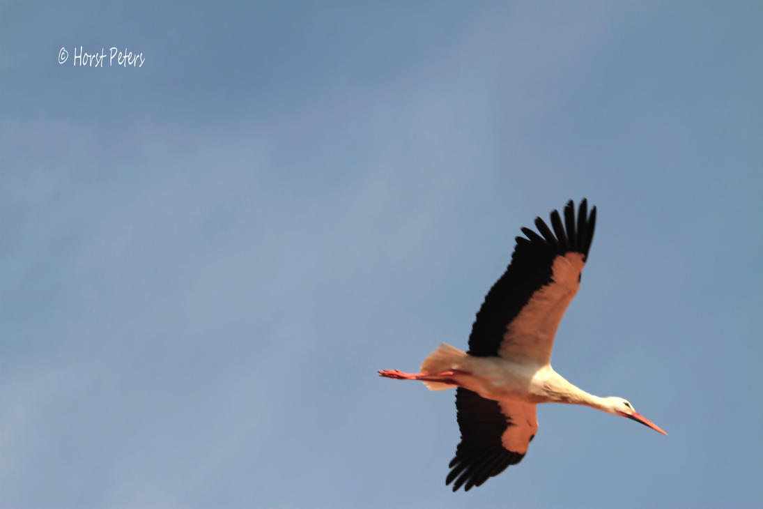 White Stork / Weissstorch 9 by bluesgrass
