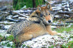 Timberwolf 17