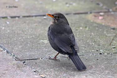 Blackbird 25 by bluesgrass