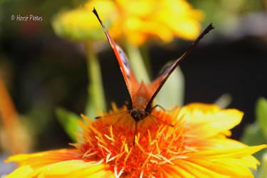 Pfauenauge    Peacock Butterfly 4