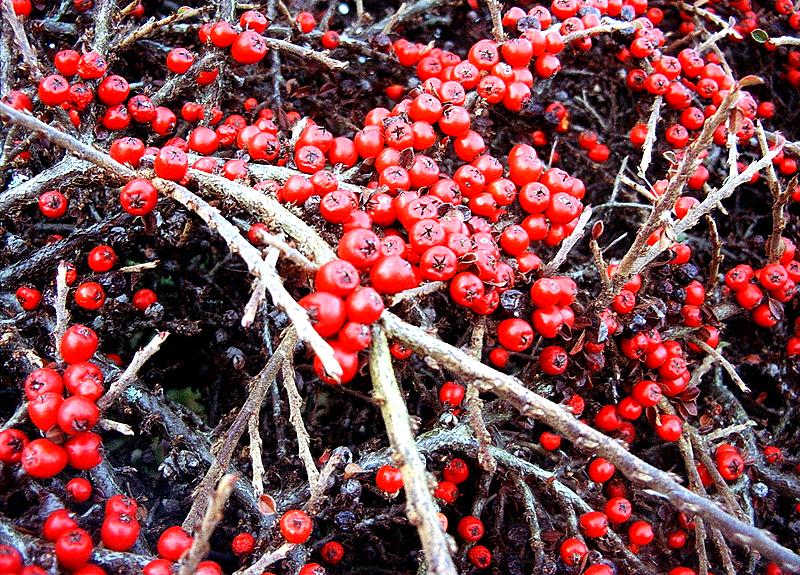 Winter Berries by chpsauce