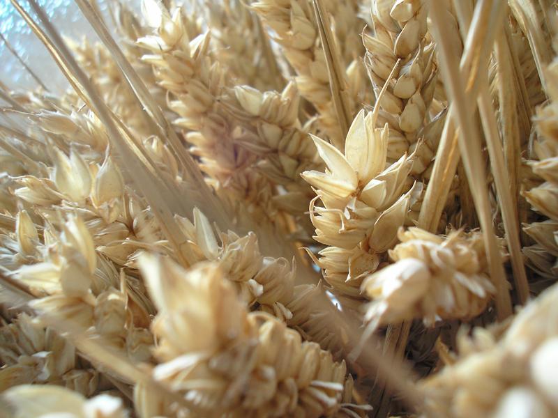 Wheat. by chpsauce