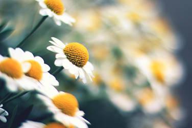 daisies by chpsauce