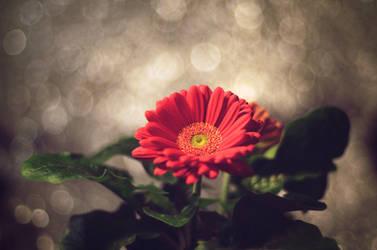Gerbera by TenthMusePhotography