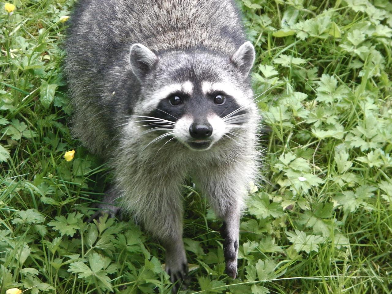A raccoon in my backyard by PinkSakuraFlower1 on deviantART