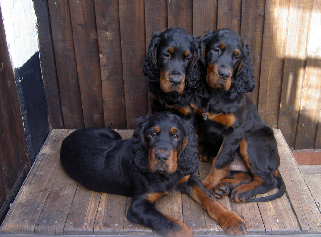 Picture of three gorgeus Gordon Setter puppies