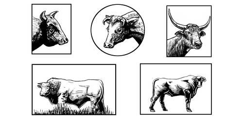 Bulls Study
