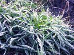 Icy grass 5 by Pamba