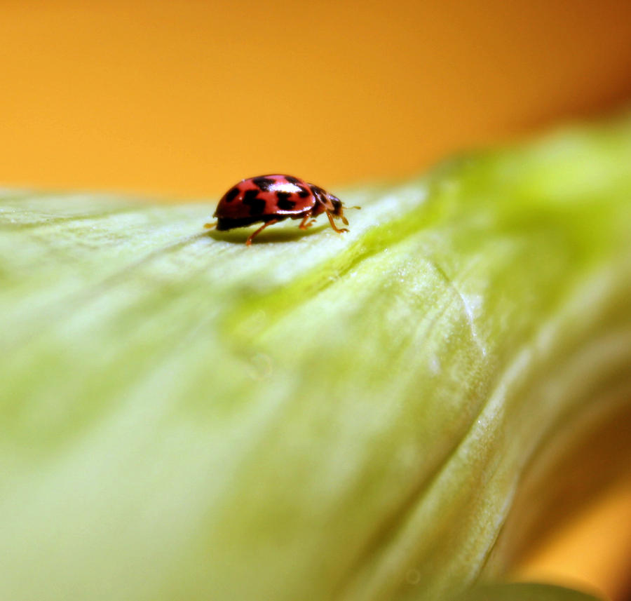 Ladybug by Pamba - u�ur b�cekli avatarlar