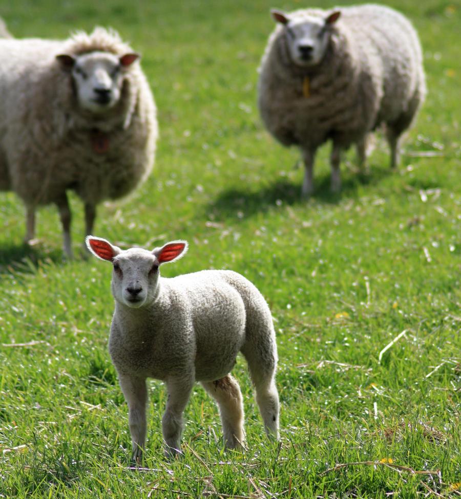 Sheep fetus - photo#27