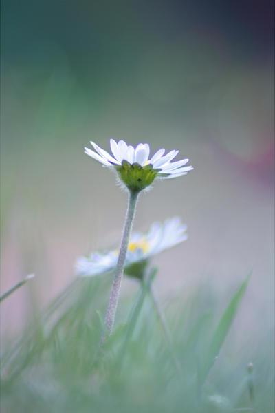Daisy by Pamba