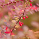 Berries Of The Autumn