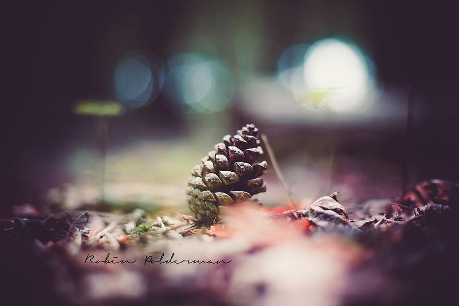 Pine cone by Pamba
