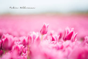 Sweet pink tulips by Pamba