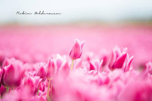 Sweet pink tulips