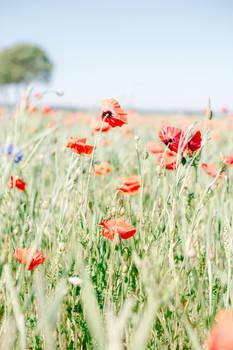 poppy fields wisdom