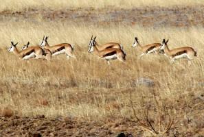 Springbok by MaresaSinclair