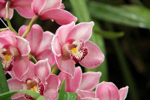Pink orchids by MaresaSinclair