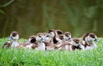 A plump of ducklings.