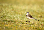 Mr Wagtail