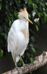 Grumpy Cattle Egret by MaresaSinclair