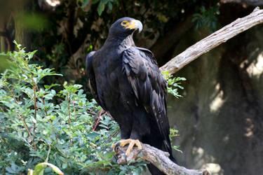 Black Eagle by MaresaSinclair
