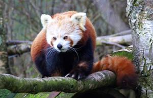 Red Panda by MaresaSinclair